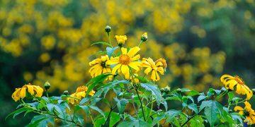Mùa hoa Dã Quỳ Đà Lạt đã đến – Những cung đường ngắm hoa đẹp nhất