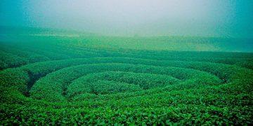 Các đồi chè hình trái tim độc đáo tại Mộc Châu