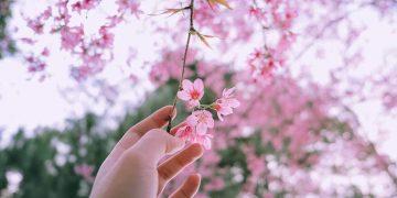 Những loại hoa nở rộ tuyệt đẹp vào tháng 1 và các địa điểm để ngắm hoa vào tháng 1