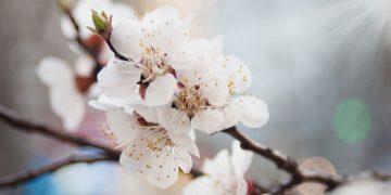 Mùa hoa mận trắng Mộc Châu