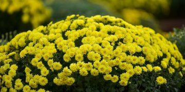 Phát sốt với vườn hoa cúc mâm xôi tuyệt đẹp ngay giữa lòng Hà Nội