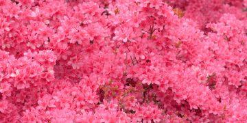 Hoa đỗ quyên rực rỡ sắc màu tại Tam Đảo