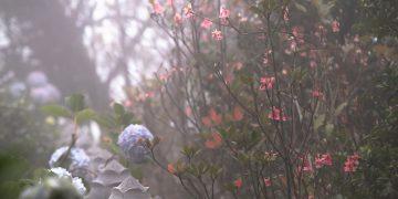 Hoa đào chuông xuất hiện tuyệt đẹp tại đỉnh Bà Nà