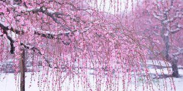 10 Sắc hoa thơ mộng nhất mùa xuân tại Nhật bản
