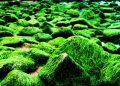 Bãi rêu 'tóc xanh' độc đáo trên con đường đẹp nhất Nha Trang
