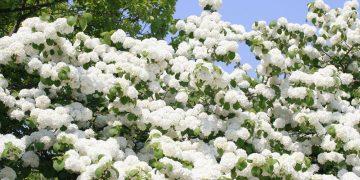 Ngắm hoa tuyết và dự lễ cà phê tại Đắk lắk