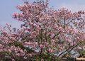 Hoa hồng phấn phủ hồng trên các tuyến đường Bảo Lộc