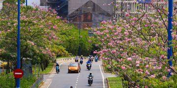 Hoa Kèn hồng nở rộ trên nhiều tuyến đường Sài Gòn