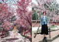 Tháng 8, đến Úc ngắm lễ hội hoa anh đào thần tiên đẹp kỳ ảo
