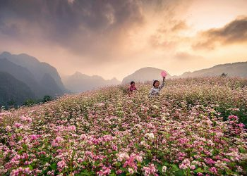 Hà Giang mùa hoa tam giác mạch