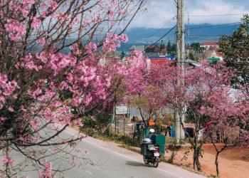 Lên lịch check-in Đà Lạt mùa mai anh đào tuyệt đẹp dịp tết dương lịch