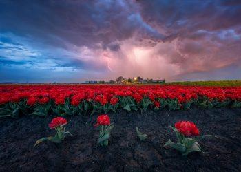Chùm ảnh tuyệt đẹp về mùa hoa Tulip ở Hà Lan